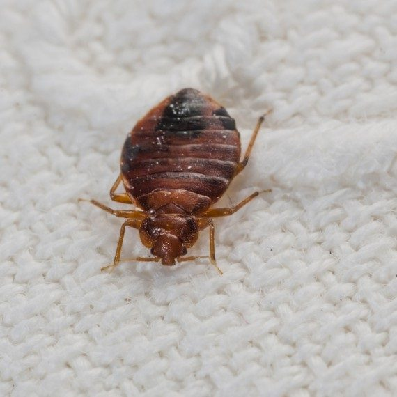 Bed Bugs, Pest Control in Mill Hill, NW7. Call Now! 020 8166 9746