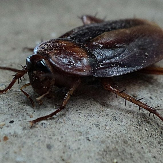 Cockroaches, Pest Control in Mill Hill, NW7. Call Now! 020 8166 9746