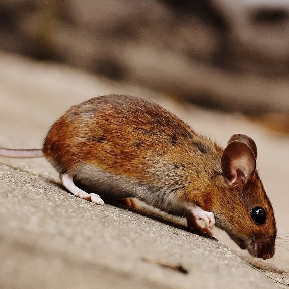 Mice, Pest Control in Mill Hill, NW7. Call Now! 020 8166 9746