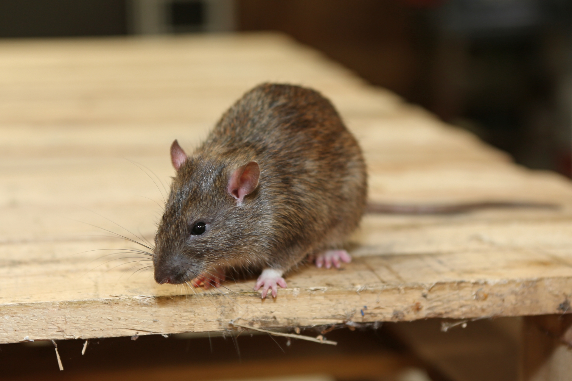 Rat extermination, Pest Control in Mill Hill, NW7. Call Now 020 8166 9746