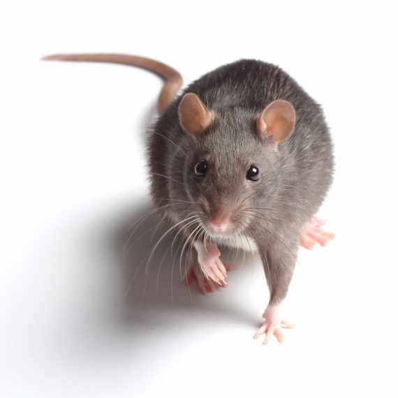 Rats, Pest Control in Mill Hill, NW7. Call Now! 020 8166 9746