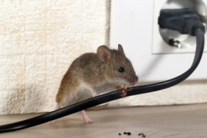 Mice Control, Pest Control in Mill Hill, NW7. Call Now 020 8166 9746